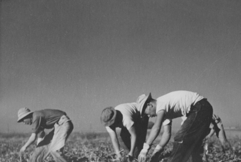 Former incarcerees from Los Angeles pulling beets in field near Milliken, Colorado (ddr-csujad-14-38)