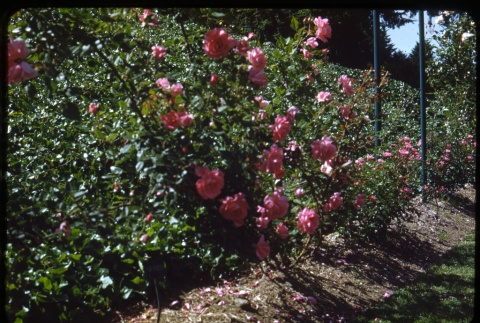 Roses (ddr-one-1-540)