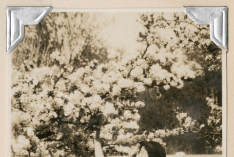 Woman looking at cherry blossoms (ddr-densho-383-187)