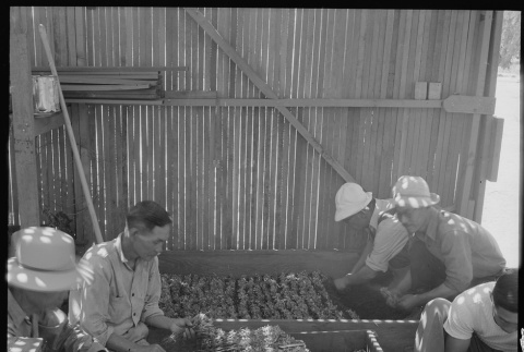 Japanese Americans working with guayule plants (ddr-densho-151-380)